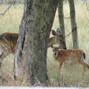 White-tailed Deer (Doe and Fawn)