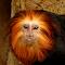 Golden lion tamarin 7-20-2014 2-18-36 AM 1295x1511.JPG