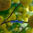 Plant Bug Eggs