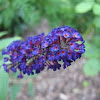 Butterfly bush 'Black knight'