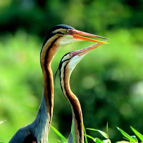 love by Zulfikar Achmad - Animals Birds