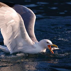 Always hungry by Zoran Nikolic - Animals Birds ( seagull, sea, warer, birds, colours )
