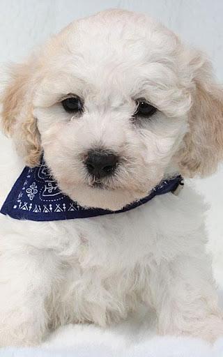 Maltipoo Cute Dog Wallpapers