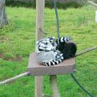 stripe tailed lemur