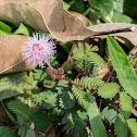 Shy Plant