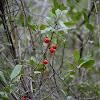 Arbusto com bagas vermelhas