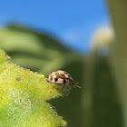 Twenty-Spotted Ladybug