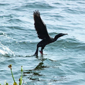 A Thrust Into the Sky by Seema Nair - Animals Birds ( flying, flight, wild, duck, wild duck,  )