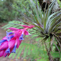 Tillandsia stricta