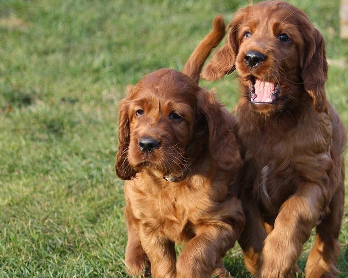 irish setters wallpaper download - photo #25