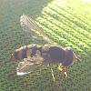 Hoverfly or Gemeine Feldschwebfliege