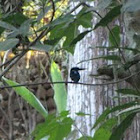 Kingfisher(?)