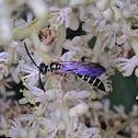 Thynnid Wasp