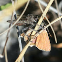 Robber fly vs. butterfly