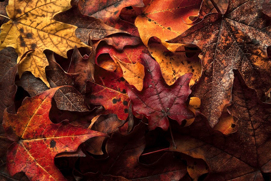 Layed to Rest by Uriah Clark - Nature Up Close Leaves & Grasses ( fall leaves on ground, fall leaves, autumn, fall, leaves )