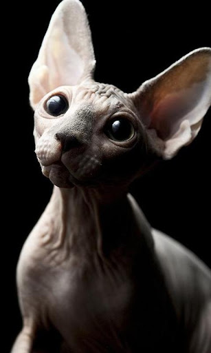 Sphynx Cats Wallpapers