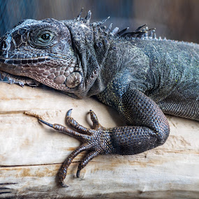 Came all the way from South America by Donna Brittain - Animals Reptiles ( bird kingdom, nature, canada, niagara falls, ontario, claws, reptile, green iguana,  )
