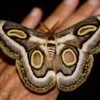 White-ringed Atlas Moth