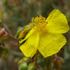 heath leaved rock rose; sillerilla