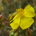 heath leaved rock rose; sillerilla