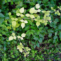 Unknown Plant (partial albino)