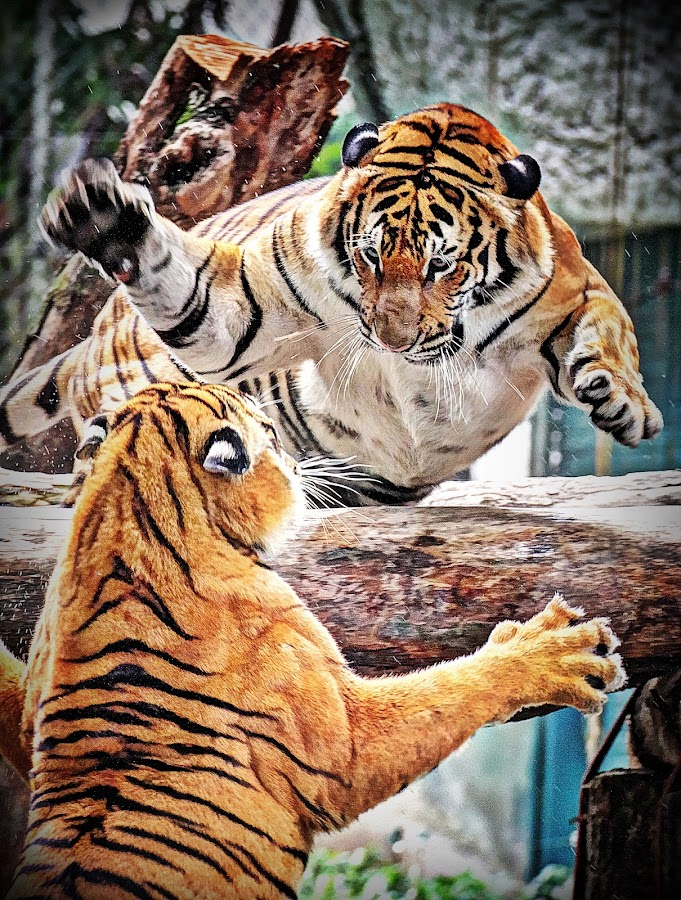 WANT A HUG???  by Andy Teoh - Animals Lions, Tigers & Big Cats ( tiger, zoo, animal, andyteoh photography )