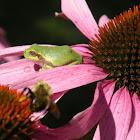 Cope's Gray tree frog