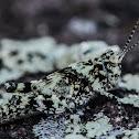 Lichen Grasshopper