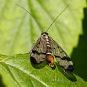 common scorpionfly (Gemeine Skorpionsfliege)