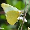 Creamy White