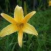 Yellow Iris?