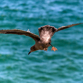 Peruvian Diving-Petrel by Maritere Izaguirre - Animals Birds ( peruvian birds, birds, peruvian pretel,  )