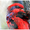 The Blue-streaked Lory