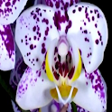 Love Orchid Live Wallpaper icon
