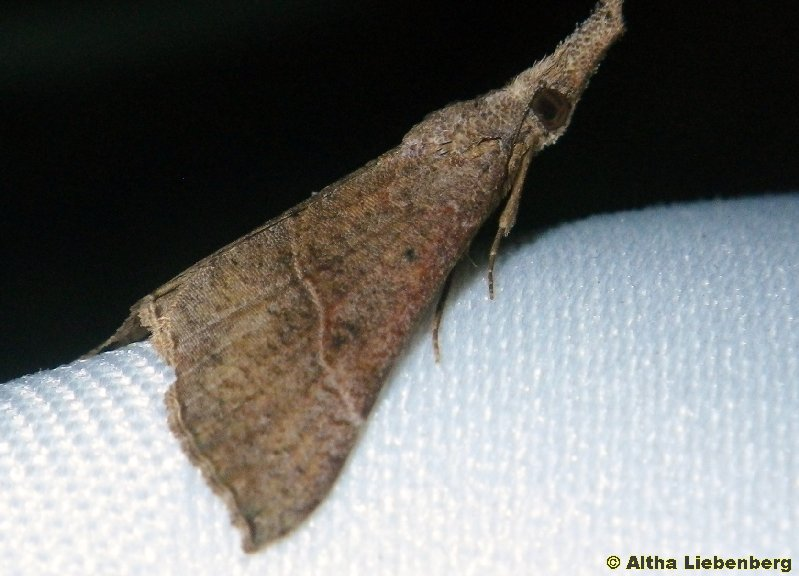 Erebidae, Hypeninae