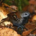 Gray-bellied Antbird