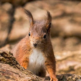 Red squirrel  by Lee Sutton - Animals Other Mammals ( red, woodland, brown, woods, squirrel )