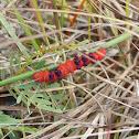 Faithful Beauty Moth larva