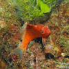 Lyretail Hawkfish