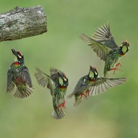 by Ken Goh - Animals Birds ( bird, fly, flight,  )