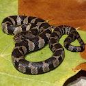 Midland Water Snake