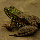 North American Green Frog/ Bronze Frog