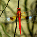 Coral-tailed Cloud Wing ♂