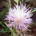 Flower of Sensitive plant