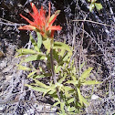Giant Red Paintbrush