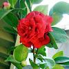 Camellia 'Rosehill Red'.