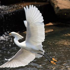 White Egret in Flight by Angela Wescovich - Animals Birds ( water, bird, animals, wildlife, heron, egret, , fly, flight )