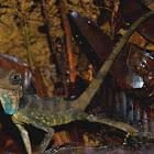 Great angle-head Lizard