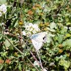 Blue Argus male butterfly