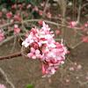 Fragrant early spring viburnum